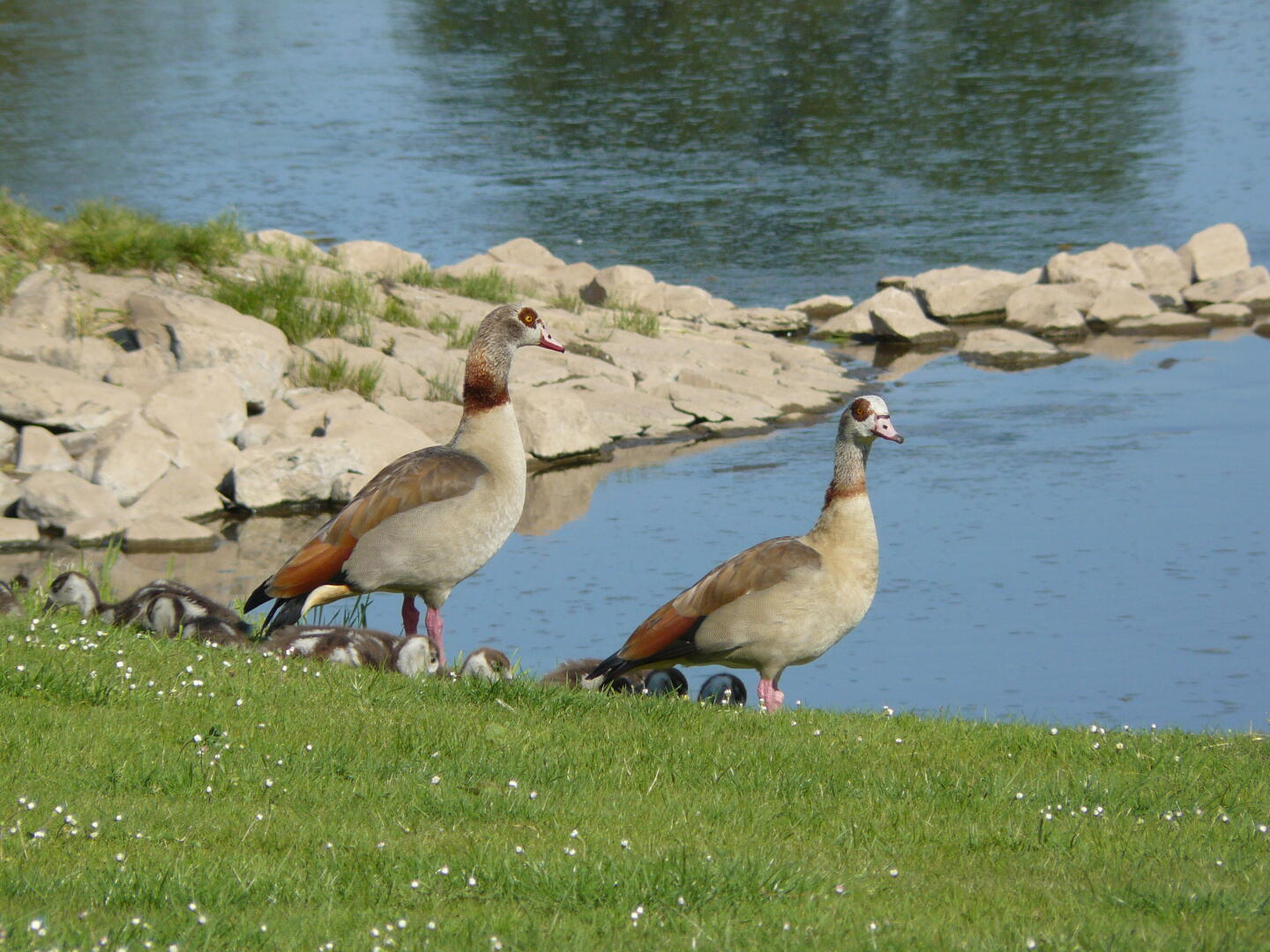 Familie Nilgans beim Morgenspaziergang.