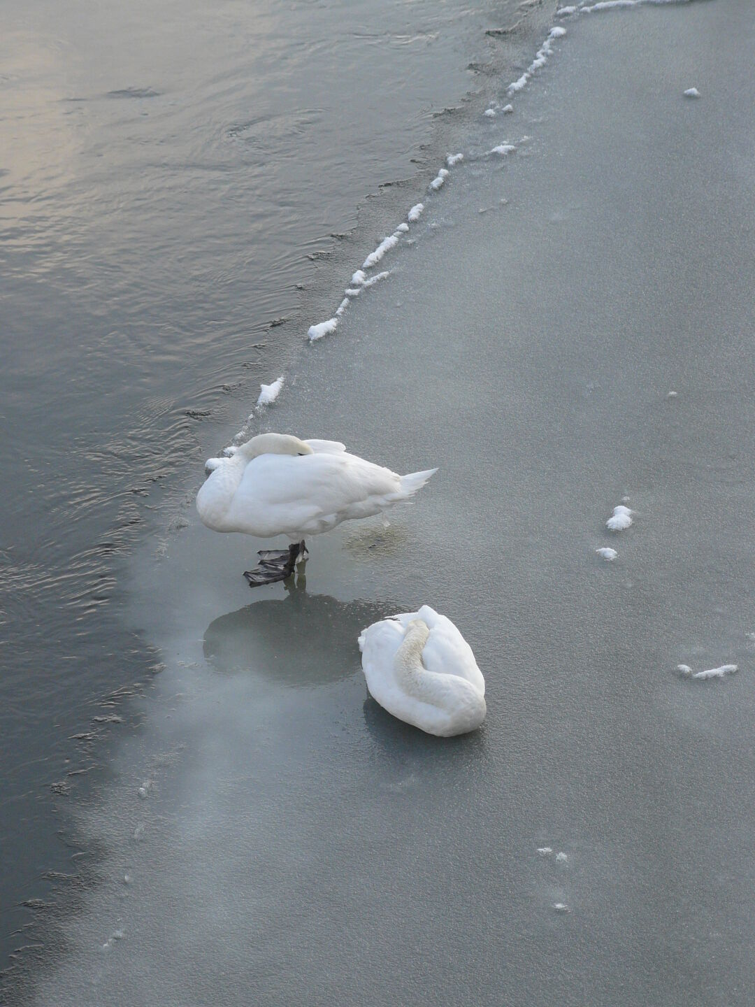 ...which allows these swans to rest safely.