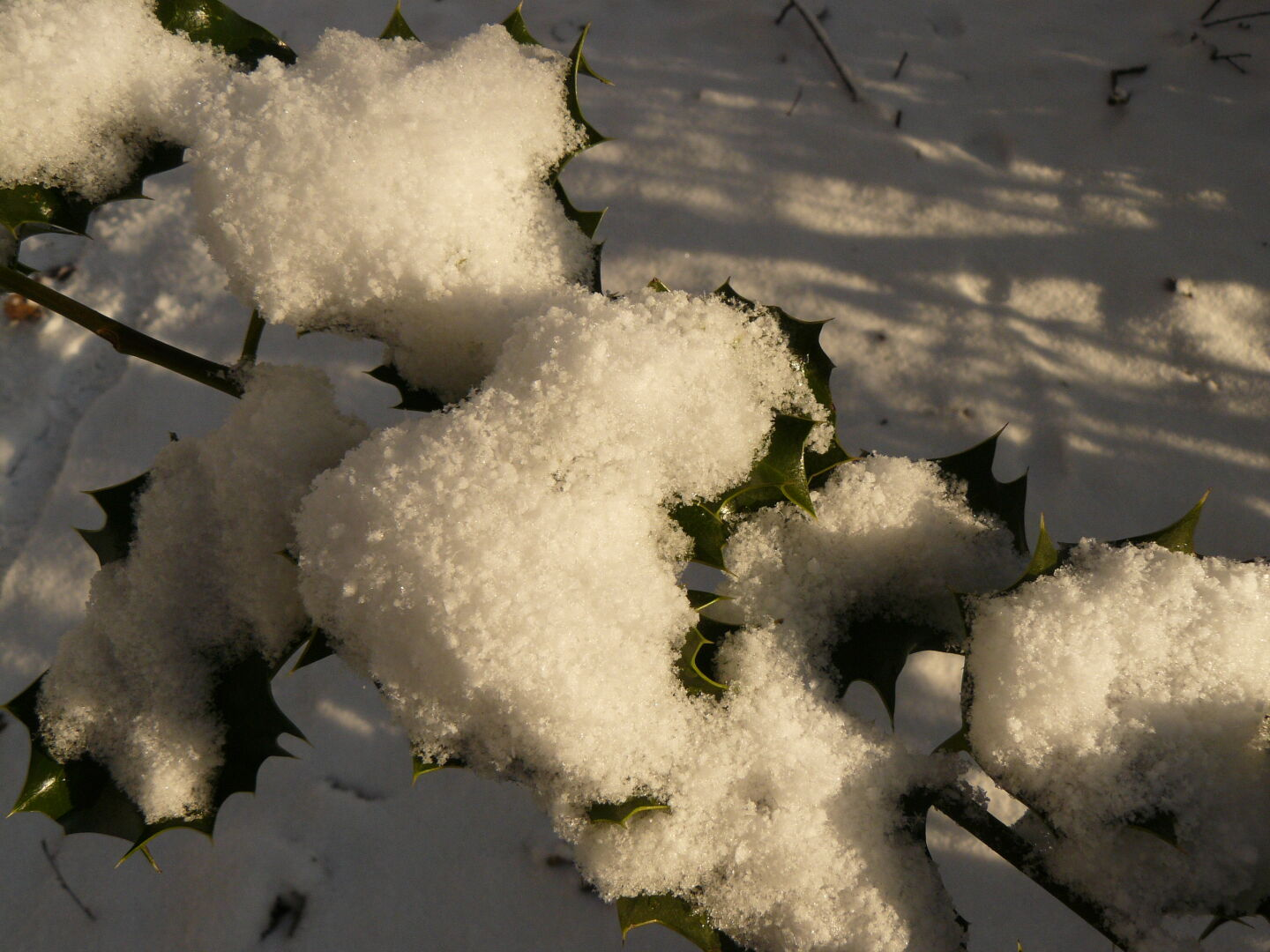 Snow on the leaves of an ilex.
