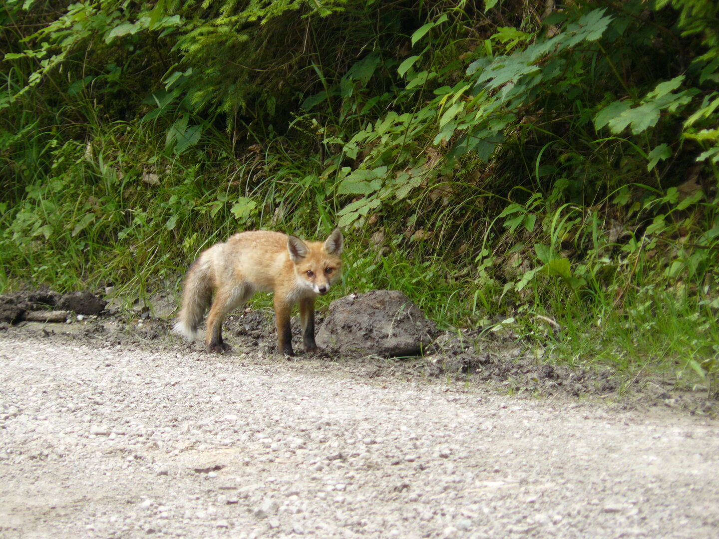 A small fox, a rare sight though they are said to be very common animals.