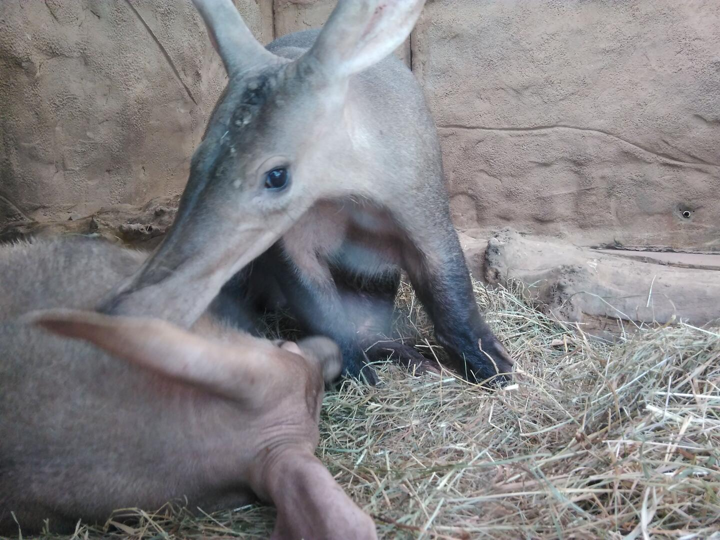 Aardvarks in Chester zoo.