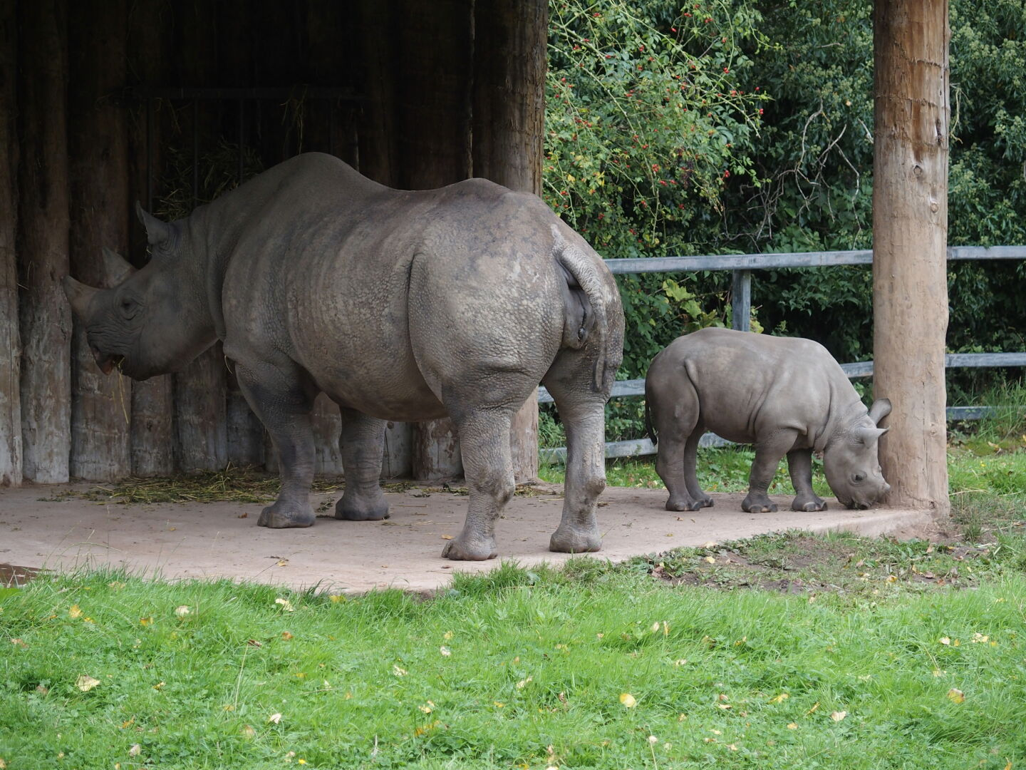 Baby rhino in Chester zoo.