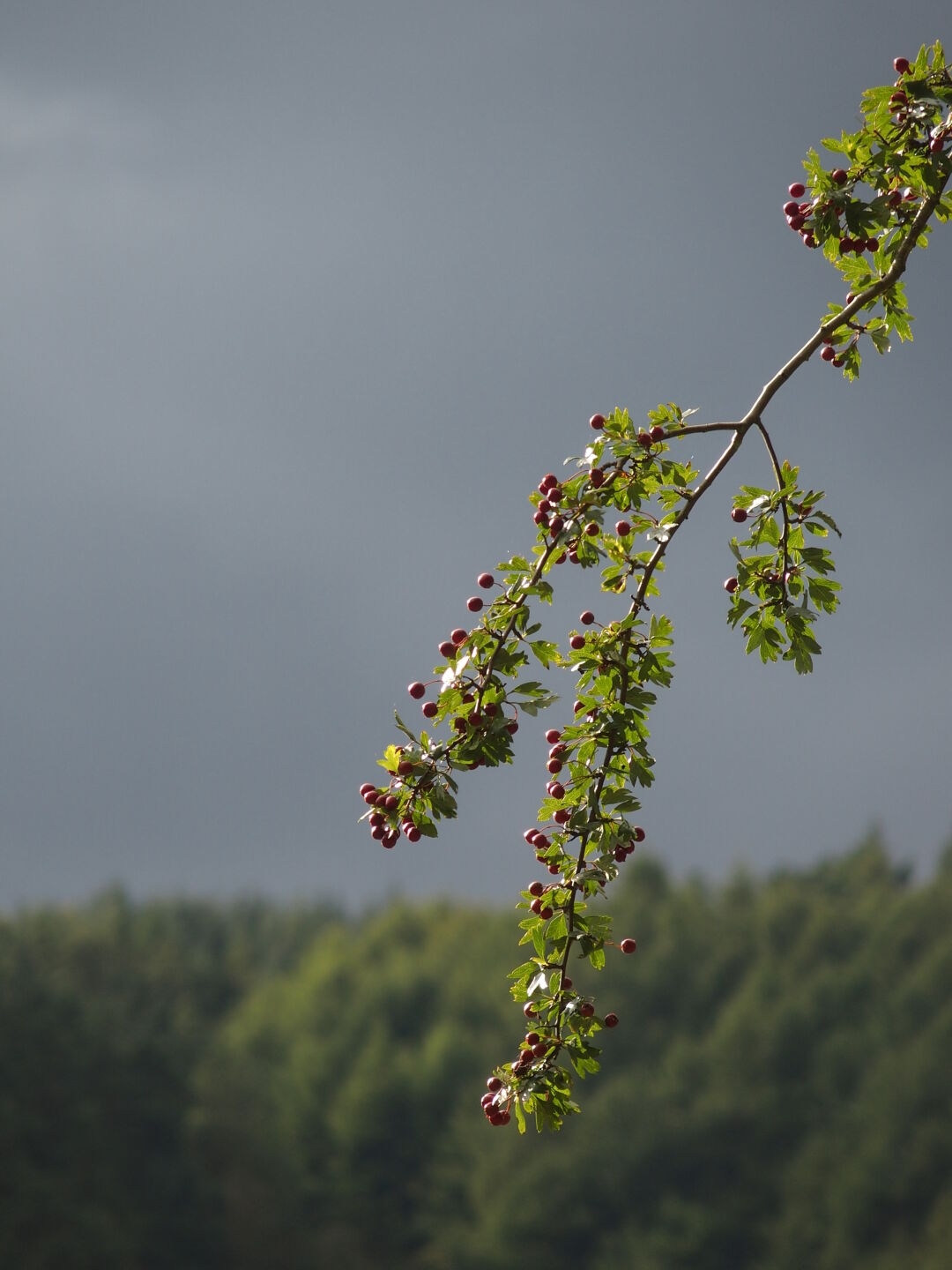 Twig with berries.