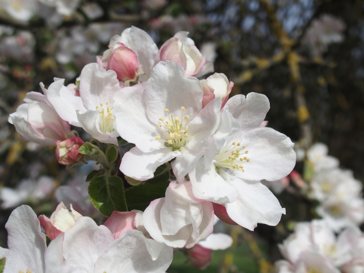 You wouldn't believe how many different flowers there are - this is an apple tree.