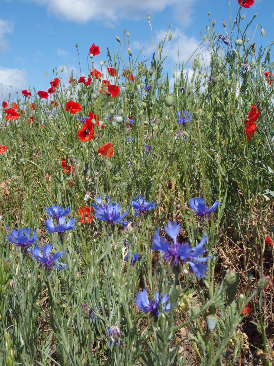 Poppies and cornflowers - strangely, these only grow near the main road and not next to the cornfields. I wonder what the agriculturists spray on their fields?