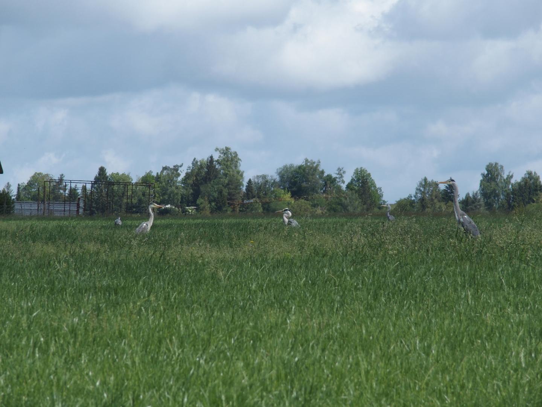 Grey herons looking for mice.