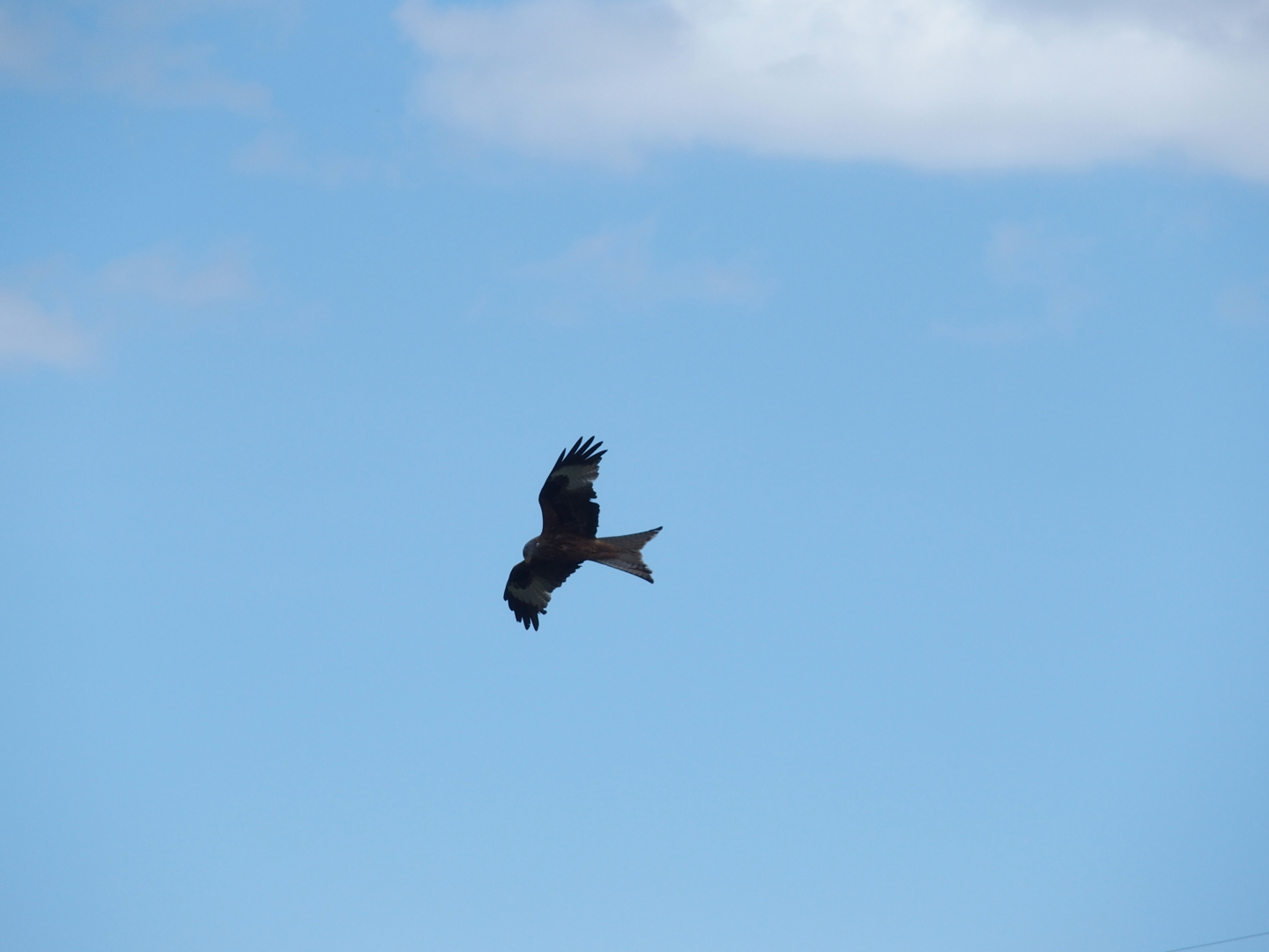 A red kite searching for food.