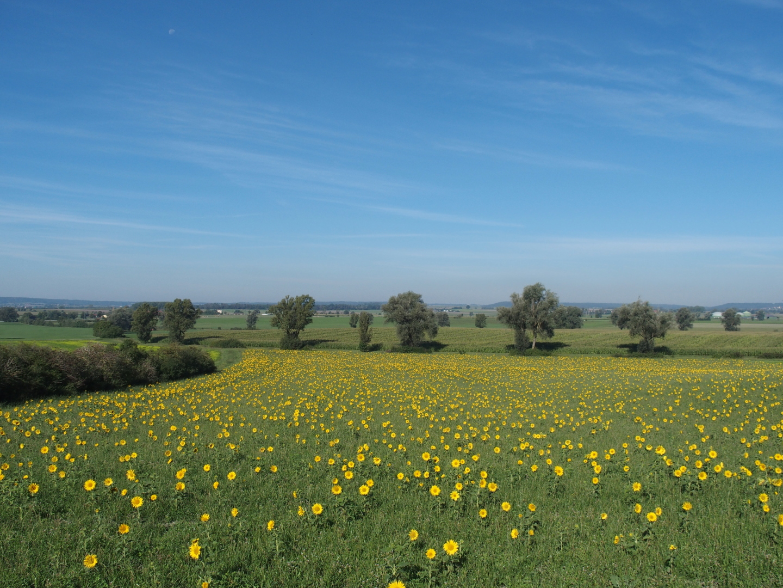 Es muss ja auch ein Postkartenmotiv in der Sammlung geben: Sonnenblumenfeld bei Colmberg.