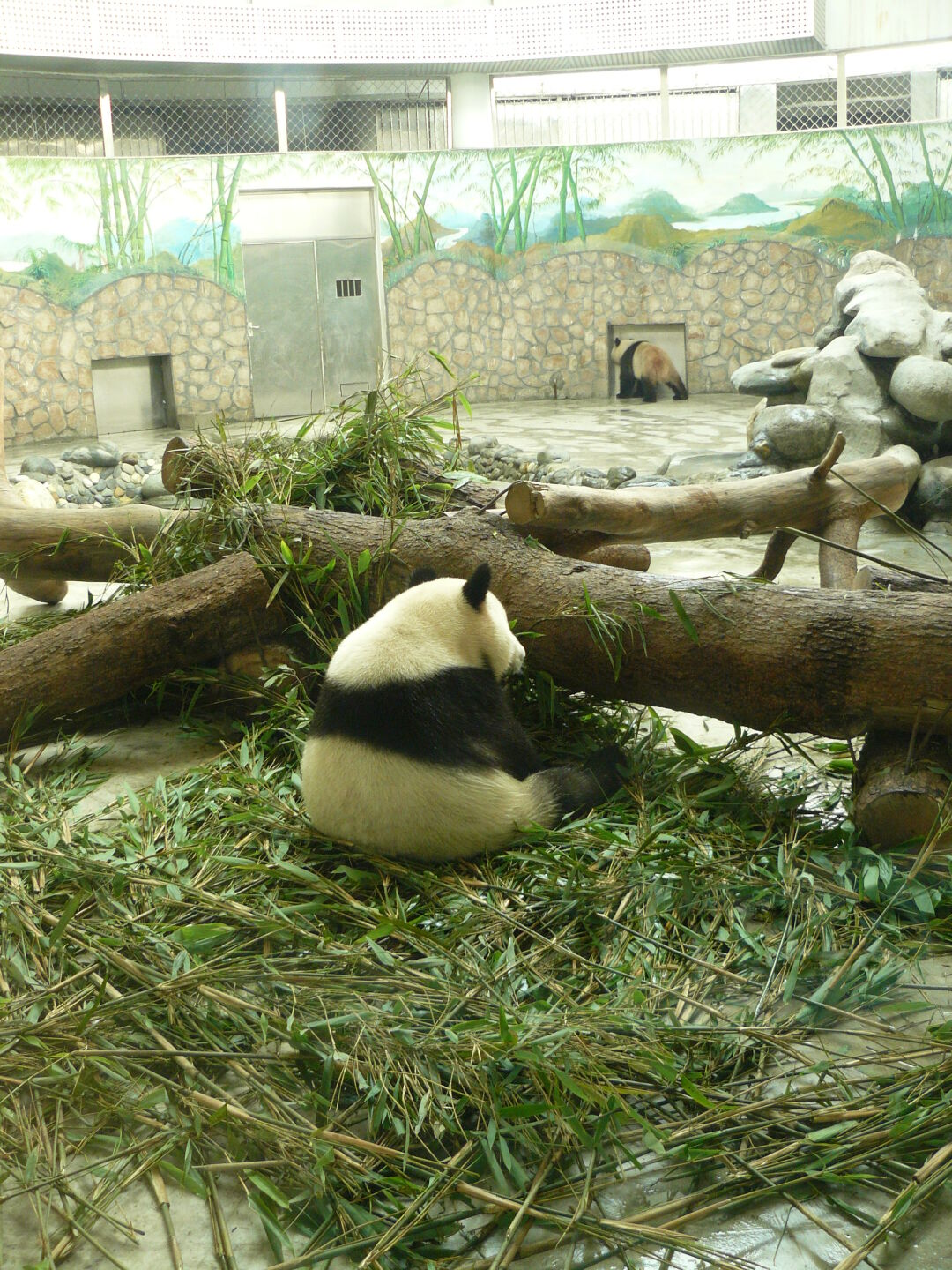 Eating bamboo.