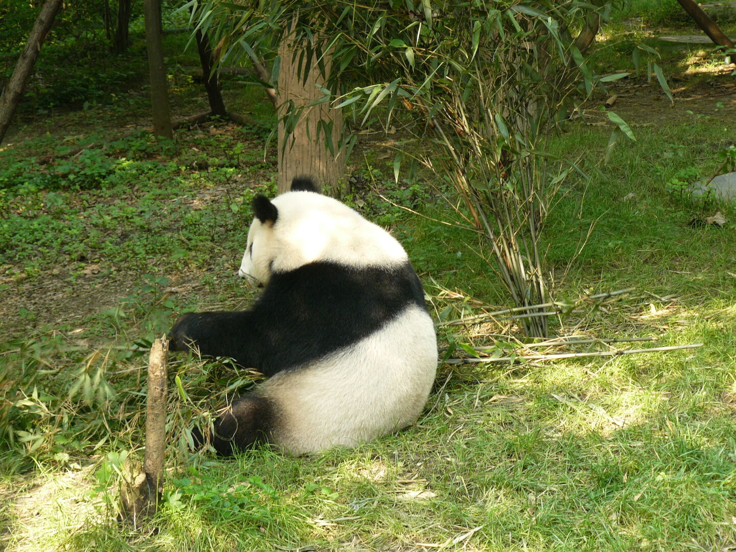 Pandas prefer eating with their backs to the spectators.