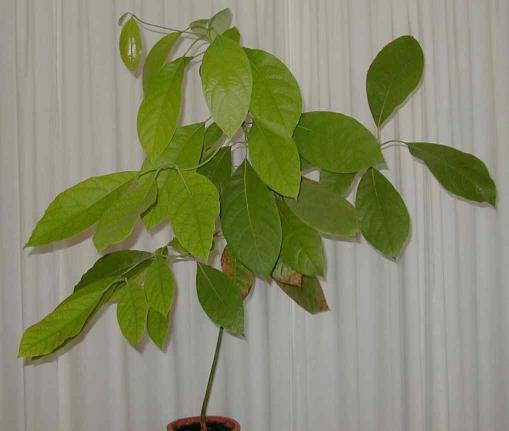 grown-up avocado plant
